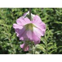 Bleiche Stockrose / Balkan Stockrose, Alcea pallida, Topfware