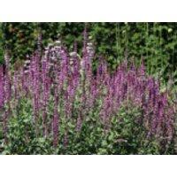 Blüten-Salbei 'Amethyst', Salvia nemorosa 'Amethyst', Topfware