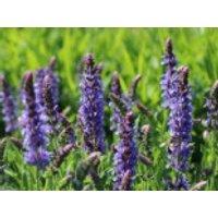 Blüten-Salbei 'Blauhügel', Salvia nemorosa 'Blauhügel', Containerware