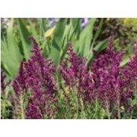 Blüten Salbei 'Pusztaflamme', Salvia nemorosa 'Pusztaflamme', Topfware