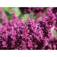 Blüten-Salbei 'Schwellenburg', Salvia nemorosa 'Schwellenburg', Topfware