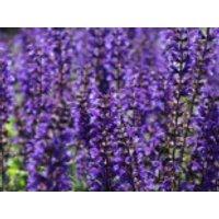 Blüten-Salbei 'Viola Klose', Salvia nemorosa 'Viola Klose', Containerware