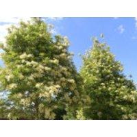 Blumenesche, Mannaesche, 30-50 cm, Fraxinus ornus, Jungpflanzen (Topf)