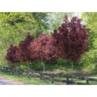 Blut-Ahorn 'Crimson Sentry', Stamm 120 cm, 140-180 cm, Acer platanoides 'Crimson Sentry', Stämmchen