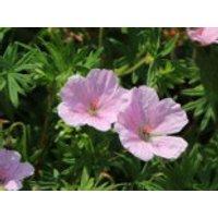 Blut-Storchschnabel 'Apfelblüte', Geranium sanguineum var. striatum 'Apfelblüte', Containerware