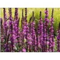 Blut-Weiderich, Lythrum salicaria, Containerware