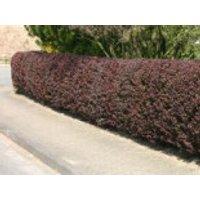 Blutberberitze / Rote Heckenberberitze 'Atropurpurea', 20-40 cm, Berberis thunbergii 'Atropurpurea', Topfware