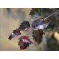 Blutbirke / Purpurbirke 'Purpurea', 125-150 cm, Betula pendula 'Purpurea', Containerware