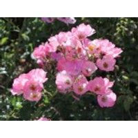 Bodendecker-Rose 'Bingo Meidilandecor' ®, Rosa 'Bingo Meidilandecor' ®, Wurzelware