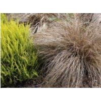 Bräunliche Segge 'Bronco' / 'Bronze', Carex comans 'Bronco' / 'Bronze', Topfware