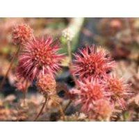 Braunrotes Stachelnüsschen 'Kupferteppich', Acaena microphylla 'Kupferteppich', Containerware