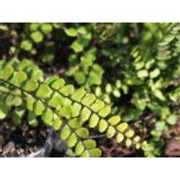 Braunstieliger Streifenfarn, Asplenium trichomanes, Topfware