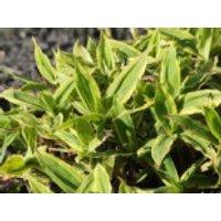 Breitblatt-Segge 'Shima-nishiki', Carex ciliato-marginata 'Shima-nishiki', Topfware