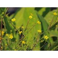 Brennender Hahnenfuß, Ranunculus flammula, Topfware