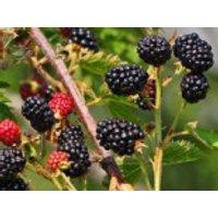 Brombeere 'Dirksen Thornless', 40-60 cm, Rubus fruticosus 'Dirksen Thornless', Containerware
