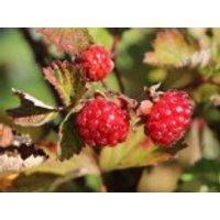 Brombeere 'Dorman Red', 40-60 cm, Rubus fruticosus 'Dorman Red', Containerware