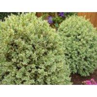 Buchsbaum 'Elegantissima', 20-25 cm, Buxus sempervirens 'Elegantissima', Containerware