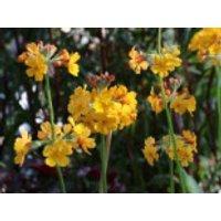 Bulleys Etagen-Schlüsselblume, Primula bulleyana, Topfware