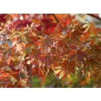 Buntblättriger Fächer-Ahorn 'Oridono nishiki', 30-40 cm, Acer palmatum 'Oridono nishiki', Containerware