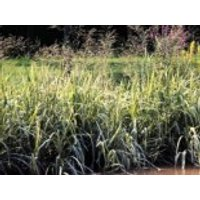 Buntblättriges Süßgras 'Variegata', Glyceria maxima 'Variegata', Topfware