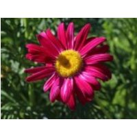 Bunte Margerite 'Robinsons Rot', Tanacetum coccineum 'Robinsons Rot', Topfware