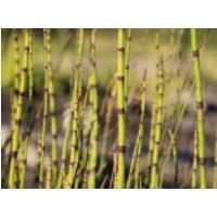 Bunter Schachtelhalm, Equisetum variegatum, Topfware