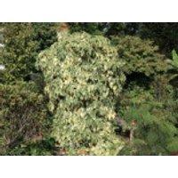 Buntlaubiger Kaukasischer Efeu, 40-60 cm, Hedera colchica 'Dentata Variegata', Containerware