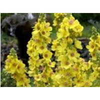 Chaixs Königskerze 'Sixteen Candles', Verbascum chaixii 'Sixteen Candles', Topfware