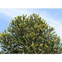 Chilenische Schmucktanne / Andentanne, 25-30 cm, Araucaria araucana, Containerware