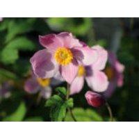 China-Herbst-Anemone 'Praecox', Anemone hupehensis 'Praecox', Containerware