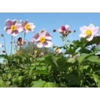 China-Herbst-Anemone 'September Charme', Anemone hupehensis 'September Charme', Containerware