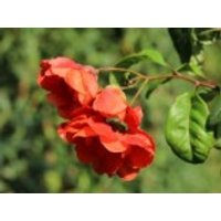 Chinesische Zierquitte Double Take 'Orange Storm' (S), 40-60 cm, Chaenomeles speciosa Double Take 'Orange Storm' (S), Containerware