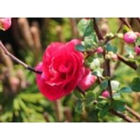 Chinesische Zierquitte Proven Winners ® 'Double Take Pink', 40-60 cm, Chaenomeles speciosa Proven Winners ® 'Double Take Pink', Containerware