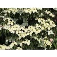 Blütensträucher und Ziergehölze - Chinesischer Blumen-Hartriegel 'National', 80-100 cm, Cornus kousa var. chinensis 'National', Containerware