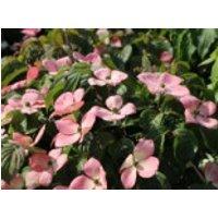 Blütensträucher und Ziergehölze - Chinesischer Blumen-Hartriegel 'Rosy Teacups' ®, 80-100 cm, Cornus kousa 'Rosy Teacups' ®, Containerware