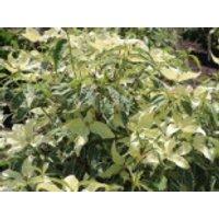 Blütensträucher und Ziergehölze - Chinesischer Blumen-Hartriegel 'Samaratin', 40-60 cm, Cornus kousa var. chinensis 'Samaratin', Containerware