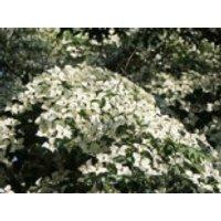 Blütensträucher und Ziergehölze - Chinesischer Blumen-Hartriegel 'Weiße Fontaine', 100-125 cm, Cornus kousa var. chinensis 'Weiße Fontaine', Containerware