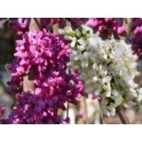 Chinesischer Judasbaum 'Avondale' & Shirobana' (rosa & weiß), 40-60 cm, Cercis chinensis 'Avondale' & 'Shirobana' (in einem Topf), Containerware