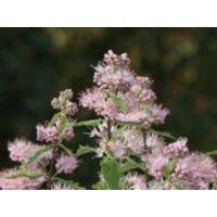 Blütensträucher und Ziergehölze - Clandon-Bartblume 'Pink Perfection', 30-40 cm, Caryopteris clandonensis 'Pink Perfection', Containerware