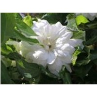Clematis 'Duchess of Edinburgh', 60-100 cm, Containerware