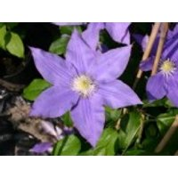 Clematis 'H. F. Young', 60-100 cm, Containerware