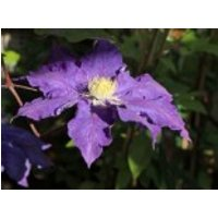 Clematis 'Lady Northcliff', 60-100 cm, Clematis 'Lady Northcliffe', Containerware