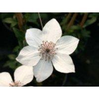 Clematis 'Pistachio' TM Evirida (N), 60-100 cm, Clematis florida 'Pistachio' TM Evirida (N), Containerware
