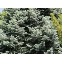 Colorado-Tanne/Grautanne, 30-40 cm, Abies concolor, Containerware