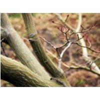 Davids-Ahorn / Schlangenhaut-Ahorn, 100-125 cm, Acer davidii, Containerware