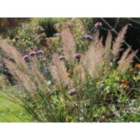Diamant-Reitgras, Calamagrostis brachytricha, Containerware