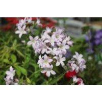 Dolden-Glockenblume 'Loddon Anne', Campanula lactiflora 'Loddon Anne', Containerware