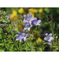 Stauden - Dolden-Glockenblume 'Prichard's Variety', Campanula lactiflora 'Prichard's Variety', Topfware