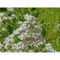 Steingarten - Dolden-Glockenblume 'White Pouffe', Campanula lactiflora 'White Pouffe', Topfware