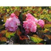 Blütensträucher und Ziergehölze - Doppelt gefüllte Ballhortensie You & Me 'Miss Saori' (Rosa), 30-40 cm, Hydrangea macrophylla 'Miss Saori' (Rosa), Containerware